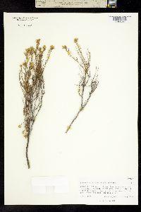 Image of Ericameria triantha