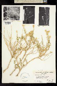 Image of Ericameria gilmanii