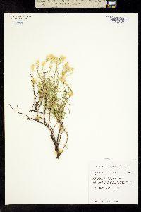 Image of Ericameria ophitidis