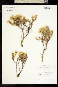 Image of Ericameria cervina