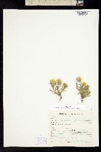 Image of Ericameria suffruticosa