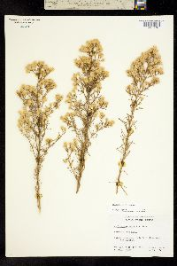 Image of Ericameria palmeri