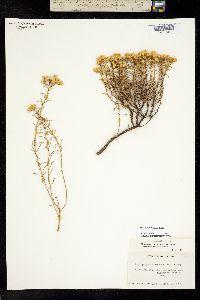 Ericameria resinosa image