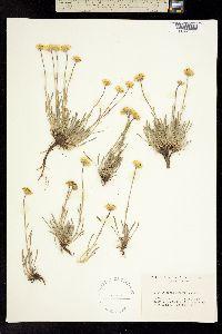 Image of Erigeron bloomeri