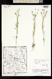 Erigeron coronarius image
