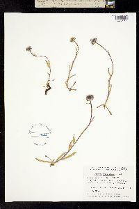 Erigeron uniflorus subsp. eriocephalus image