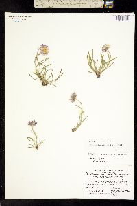 Image of Erigeron lackschewitzii