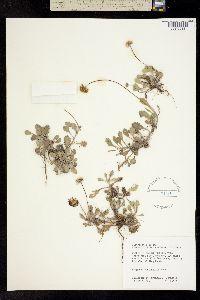 Image of Erigeron procumbens