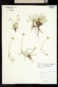 Image of Erigeron ochroleucus