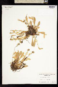Image of Erigeron oreganus