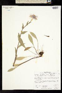 Erigeron peregrinus image