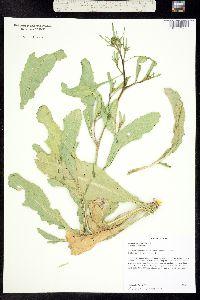 Brassica elongata image