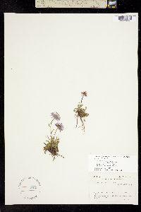 Erigeron simplex image