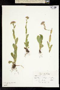 Image of Erigeron pulchellus