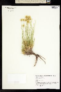 Erigeron pulcherrimus image