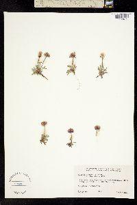 Erigeron purpuratus image