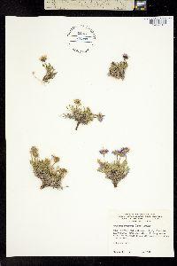 Erigeron pygmaeus image
