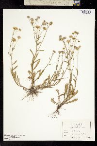 Image of Erigeron quercifolius