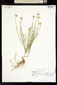 Image of Erigeron rhizomatus