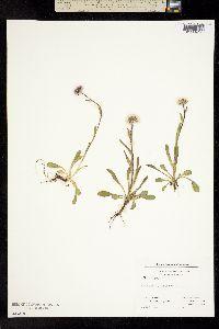 Image of Erigeron uniflorus