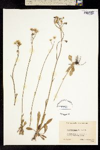 Image of Erigeron vernus