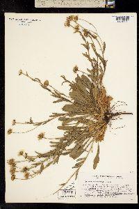 Image of Erigeron cascadensis