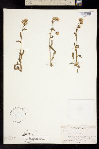 Image of Erigeron jucundus