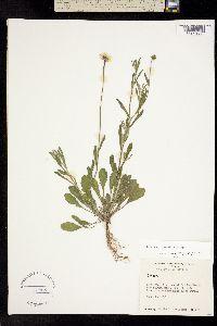 Erigeron lemmonii image