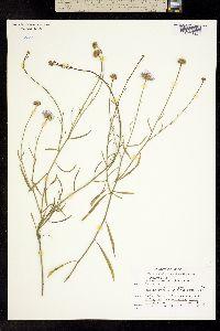 Erigeron oxyphyllus image