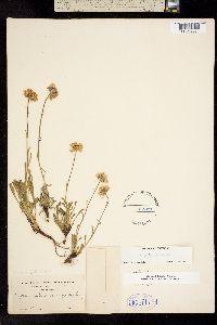 Image of Erigeron petiolaris