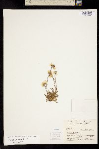 Erigeron petiolaris image
