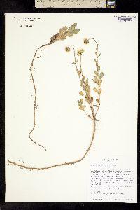 Erigeron podophyllus image