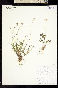 Erigeron pubescens image