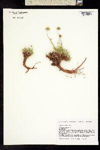 Image of Erigeron sivinskii