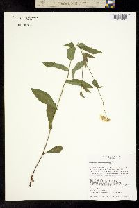 Image of Erigeron veracruzensis