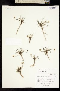 Image of Erigeron watsonii