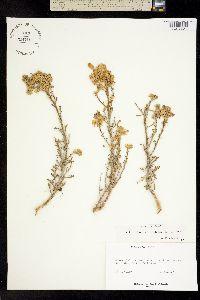 Image of Eriophyllum confertiflorum
