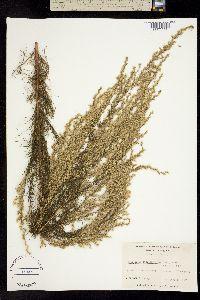 Image of Eupatorium capillifolium