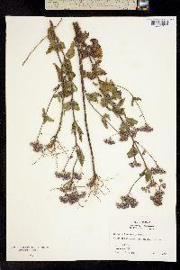 Image of Eupatorium coelestinum