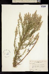 Image of Eupatorium compositifolium