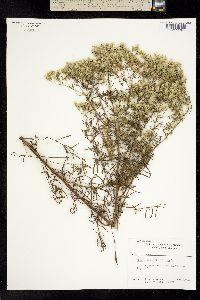 Image of Eupatorium hyssopifolium