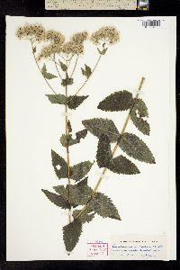 Image of Eupatorium pubescens