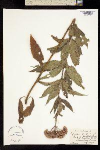 Image of Eupatorium purpureum