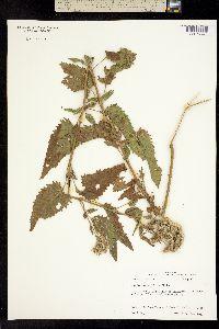 Image of Eupatorium serotinum