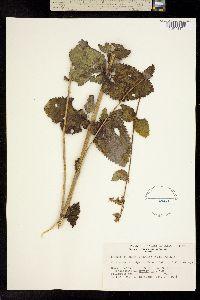 Image of Eupatorium cordigerum