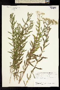 Image of Eupatorium lancifolium
