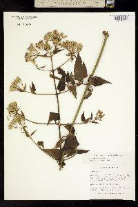 Image of Eupatorium odoratum