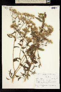 Eupatorium petaloideum image
