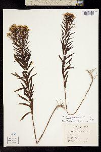 Image of Euthamia leptocephala