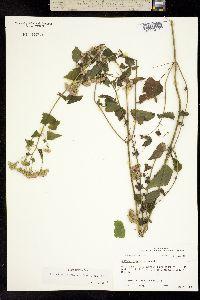 Image of Fleischmannia incarnata
